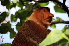 Proboscis monkey portrait Stock Image