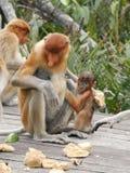 Proboscis Monkey. And baby Stock Photos