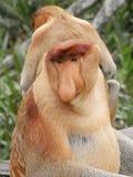 Proboscis Monkey. Close up Royalty Free Stock Photos