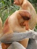 Proboscis Monkey. Sabah, Borneo Stock Photography