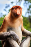 Proboscis Monkey. Rare female Proboscis Monkey in the rainforest of Borneo stock photography