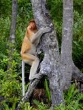 The proboscis monkey Royalty Free Stock Photo