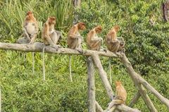 Proboscis monkey. In a row. Sanctuary in Labuk bay, Borneo Stock Image