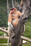 Proboscis Monkey - Sandakan, Borneo, Malaysia Royalty Free Stock Photo