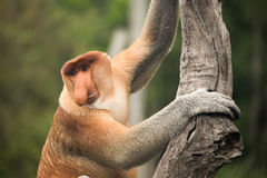 Proboscis Monkey - Sandakan, Borneo, Malaysia. A proboscis monkey (Nasalis larvatus) at the Labuk Bay Monkey Sanctuary outside of Sandakan, Malaysia Stock Image