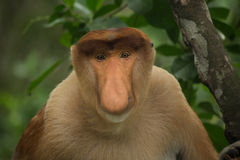 Proboscis Monkey - Sandakan, Borneo, Malaysia. A proboscis monkey (Nasalis larvatus) at the Labuk Bay Monkey Sanctuary outside of Sandakan, Malaysia stock images
