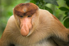 Proboscis Monkey - Sandakan, Borneo, Malaysia. A proboscis monkey (Nasalis larvatus) at the Labuk Bay Monkey Sanctuary outside of Sandakan, Malaysia Stock Photos