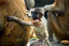 Proboscis Monkey - Sandakan, Borneo, Malaysia. A proboscis monkey (Nasalis larvatus) at the Labuk Bay Monkey Sanctuary outside of Sandakan, Malaysia royalty free stock photos