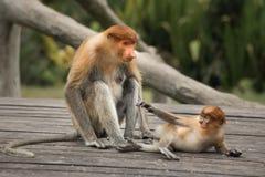 Proboscis Monkey - Sandakan, Borneo, Malaysia. A proboscis monkey (Nasalis larvatus) at the Labuk Bay Monkey Sanctuary outside of Sandakan, Malaysia stock photos