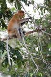 Proboscis monkey. Sitting on branch Royalty Free Stock Image