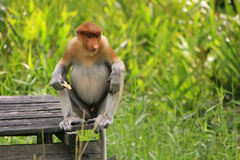 Proboscis monkey sitting on a feeding platform Royalty Free Stock Photos
