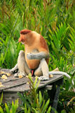 Proboscis monkey sitting on a feeding platform, Borneo Royalty Free Stock Photos
