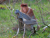 Proboscis monkey Royalty Free Stock Images
