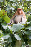 Proboscis monkey. Sitting in a tree Royalty Free Stock Images