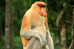 Proboscis monkey sitting on a tree, Borneo Stock Photos