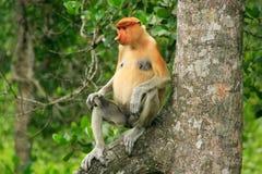 Proboscis monkey sitting on a tree, Borneo Stock Photography