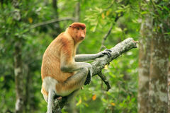 Proboscis monkey sitting on a tree, Borneo Royalty Free Stock Photo