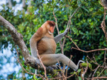 The proboscis monkey is sitting on a tree in the jungle. Indonesia. The island of Borneo Kalimantan.  Stock Photos