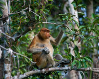 The proboscis monkey is sitting on a tree in the jungle. Indonesia. The island of Borneo Kalimantan. Royalty Free Stock Photos
