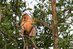 Proboscis monkey sitting in a tree Royalty Free Stock Image