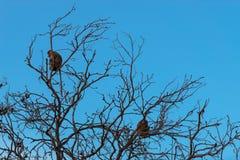 Proboscis monkey sitting in a tree Royalty Free Stock Photo