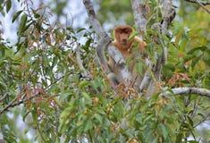 Proboscis Monkey sitting on a tree in the wild green rainforest on Borneo Island. Royalty Free Stock Image