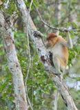 Proboscis Monkey sitting on a tree in the wild green rainforest on Borneo Island. Stock Photo