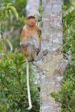 Proboscis Monkey sitting on a tree in the wild green rainforest on Borneo Island. Royalty Free Stock Photo