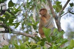 Proboscis Monkey sitting on a tree in the wild green rainforest on Borneo Island. The proboscis monkey Nasalis larvatus or long-nosed monkey, known as the Royalty Free Stock Images