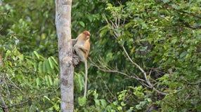 Proboscis Monkey sitting on a tree in the wild green rainforest on Borneo Island. The proboscis monkey Nasalis larvatus or long- Stock Image