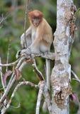 Proboscis Monkey sitting on a tree in the wild green rainforest on Borneo Island. The proboscis monkey Nasalis larvatus or long-. Nosed monkey, known as the Stock Image