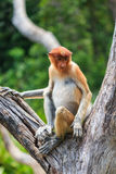 Proboscis Monkey sitting in a tree. Young Proboscis Monkey in a tree royalty free stock photos