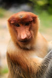 Proboscis Monkey smiling for the camera Royalty Free Stock Images
