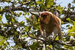 Proboscis Monkey. A solitary proboscis monkey feeding on  tree leaves in the Baco National Park, Kuching, Borneo , Indonesia Royalty Free Stock Images