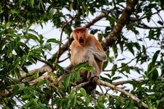 Proboscis monkey sounding the alarm call Stock Photos