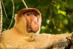 Proboscis monkey. Thisis a photo of a male proboscis monkey Stock Photography