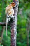 Proboscis monkey on tree. Female proboscis monkey in a wild on Borneo island in Malaysia Stock Photo