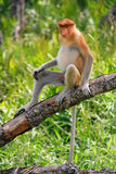 Proboscis monkey on a tree, Borneo, Malaysia Stock Image