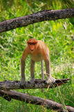 Proboscis monkey on a tree, Borneo, Malaysia Royalty Free Stock Images