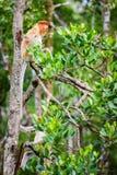 Proboscis monkey on tree. Female proboscis monkey in a wild on Borneo island in Malaysia Stock Photography