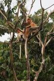 Proboscis Monkey Tree Royalty Free Stock Photography