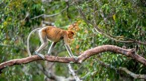 Proboscis Monkey on a tree. In the wild green rainforest on Borneo Island. The proboscis monkey Nasalis larvatus or long-nosed monkey, known as the bekantan in Stock Photo
