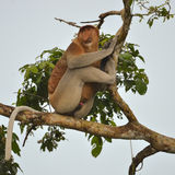 Proboscis Monkey in a tree. In the rainforest Royalty Free Stock Photography