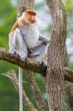 Proboscis monkey in a tree Royalty Free Stock Photos