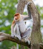 Proboscis monkey in a tree Stock Photo