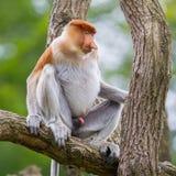Proboscis monkey in a tree Stock Images