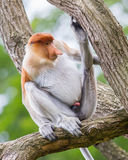 Proboscis monkey in a tree Royalty Free Stock Photo