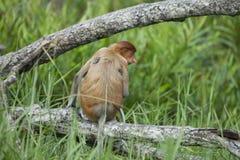 The proboscis monkey Stock Photo