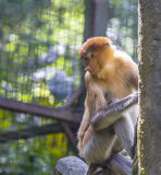 Proboscis monkey Stock Images