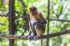 Proboscis monkey. In the zoo of Kota Kinabalu, Malaysia Royalty Free Stock Photo